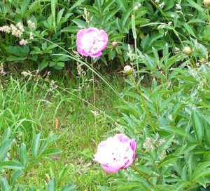 two white flowers with hot pink borders in grass