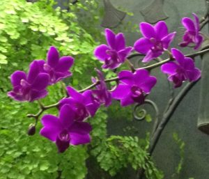 Spray of fuchsia orchids