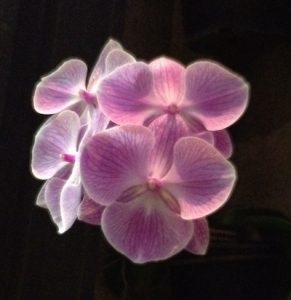 Light pink orchid blooms